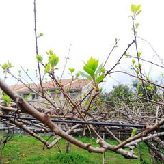 ベビーキウイの新芽/ブルーベリー剪定 こんにちはー 今日は晴れたり曇ったりなの…
