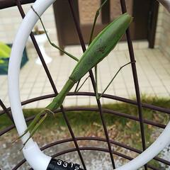 カマキリ/自転車 仕事行こうと自転車カバー外したらカマキリ…
