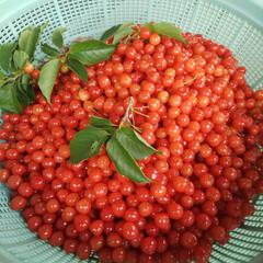摘み取り/カモミール/暖地桜桃/ベリーコテージ 前回アップしたサクランボ収穫しました😁今…(1枚目)