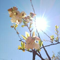八重桜/ブルーベリーの花 コンニチヽ( *°ㅁ°* )ノ  ワッ!…