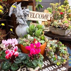ガーデンシクラメン/ジャンクガーデン/ガーゴイル/ガーデニング/屋上ガーデン/屋上/... ガーデンシクラメンを置いたら華やかな感じ…