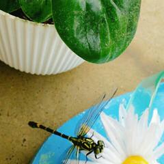 ベランダ菜園/トンボ/雨季ウキフォト投稿キャンペーン/フォロー大歓迎 天気が良かった昨日の朝の風景~~☺  ベ…