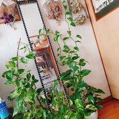 鏡/ポトス増えた/ポトス/リビング/ナチュラル/観葉植物 ポトス🌿🌿🌿〜 鏡まわりが緑化してきた🤭…(1枚目)