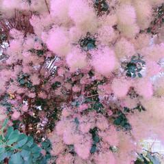 スモークツリー/ドライフラワー/おばあちゃんありがとう/夏インテリア/季節インテリア/七夕飾り/... 梅雨空の日 やばい💦💦🤣 巨木なスモーク…(4枚目)