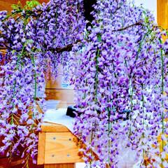 stayhome/グリーン/藤の花 藤の花、今年は出掛けずじまい、時期も逃し…