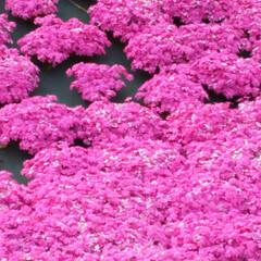 芝桜🌸/平和観音/ウォーキングコース/神秘的/新緑/パシャリ!おでかけワンショット/... 遠くに旅行やおしゃれなスポットにおでかけ…(3枚目)