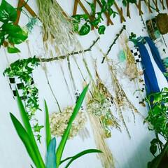 リビングインテリア/グリーン/インテリア 徐々に森化してきたリビング🎵 もっと草木…(1枚目)