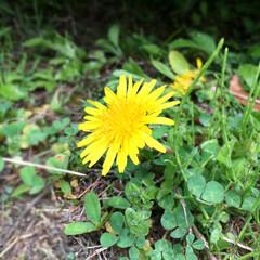 春/たんぽぽ/グリーン 駐車場の隅に咲いてたんぽぽ。 春だなぁ…。