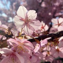 春/桜/ピンク/おでかけ 河津桜2枚目!! 花びらが透けてめっちゃ…