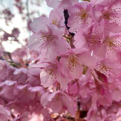 桜/ピンク/おでかけ 河津桜を見に行ってきました! 満開でとっ…