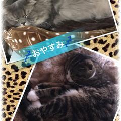 ラガマフィン/スコティッシュフォールド/LIMIAペット同好会/ペット仲間募集/猫/にゃんこ同好会/... SOL・はるま 寝てる姿しか あまり見て…