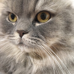 ラガマフィン/LIMIAペット同好会/ペット仲間募集/猫/にゃんこ同好会/うちの子ベストショット キリッとした表情したり 怖い目付きになっ…