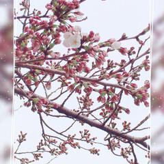 ラガマフィン/スコティッシュフォールド/春の一枚 おはようございます♡ やっと・・やっと …