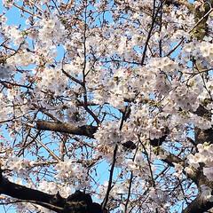 春の一枚 私の職場前の桜が 満開・・ではないですが…