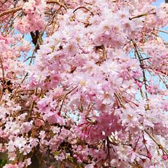 桜🌸桜🌸桜🌸/コロナに負けるな! これで桜も最後かなぁぁ・・・ 朝の桜と …