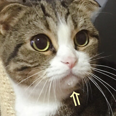 ラガマフィン/スコティッシュフォールド折れ耳/猫派/令和の一枚/LIMIAペット同好会/にゃんこ同好会 おはようございます☀️.° はるちゃんの…