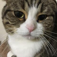 スコティッシュフォールド/LIMIAペット同好会/ペット/ペット仲間募集/猫/にゃんこ同好会/... お水飲んだ後は 必ずお口に しずく💧をつ…