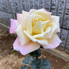 ガーデニング 初めて咲いたバラ「タヒチ」いい香りがしま…
