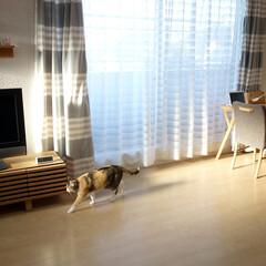 愛猫/猫/ネコ/ペット/三毛猫/リビング/... わが家の愛猫ぴぃちゃん。  ブログ用の写…(1枚目)