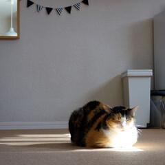 猫/ネコ/ペット/ひなたぼっこ/三毛猫 わが家の愛猫「ぴぃちゃん」。  ひなたぼ…