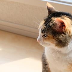 猫/ネコ/ねこ/ペット/LIMIAペット同好会/うちの子ベストショット わが家の愛猫ぴぃちゃん。 某芸人さんバリ…(1枚目)