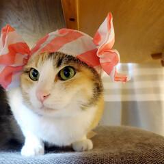 猫/ネコ/ペット/帽子 わが家の愛猫「ぴぃちゃん」。  先日、置…(1枚目)