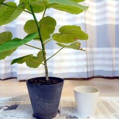 アートストーン/鉢/グリーン/ウンベラータ/植え替え/お気に入り 1年ちょっと前、初めて「植物の植え替え」…