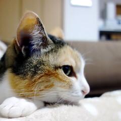 猫/ネコ/ねこ/愛猫/ペット/うちの子ベストショット/... ソファでくつろぐ、愛猫のぴぃちゃん。  …(1枚目)