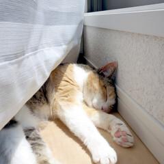 愛猫/猫/ネコ/ペット/三毛猫/昼寝/... わが家の愛猫ぴぃちゃん。 5月に撮った1…
