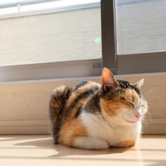 猫/ネコ/ねこ/ペット/香箱座り/LIMIAペット同好会/... わが家の愛猫ぴぃちゃん。  猫の手を折る…