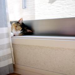 猫/ネコ/ねこ/愛猫/ペット/リビング/... 冬の間は寒い窓際には寄りつかなかったのに…
