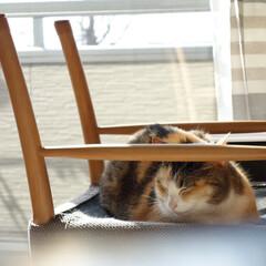 猫/ネコ/ペット/昼寝/ねこ/うちの子ベストショット/... 掃除用に、ダイニングの椅子をテーブルに上…(1枚目)