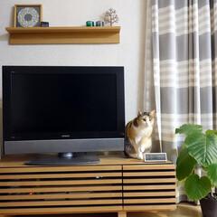 猫/ねこ/ネコ/ペット/LIMIAペット同好会/うちの子ベストショット 愛猫ぴぃちゃん。  その時々でブームの居…(1枚目)