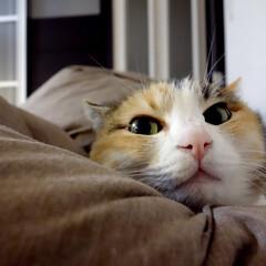 猫/ネコ/ペット/三毛猫 愛猫「ぴぃちゃん」。 ピンクの鼻がお気に…