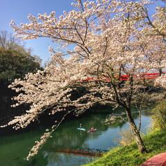 川/桜淵公園/桜/おでかけ 桜淵公園へ。