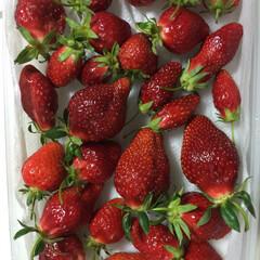 「昨年の5月中ば頃に 庭で育て収穫たイチゴ…」(1枚目)