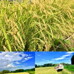 新米/おにぎり/おうちご飯/稲刈り/稲穂 稲刈りから お米になるまで やっと 終わ…(3枚目)
