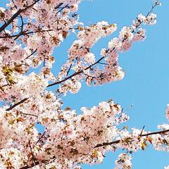 GW/桜/北海道/季節を楽しむ/わたしのGW 皆さんGWは楽しまれましたか?  北海道…