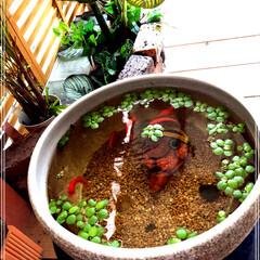 金魚/住まい/玄関 我が家の玄関先にいる金魚ちゃんです🐟  …