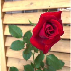 春/薔薇🌹/住まい 旦那さんの現場先の奥様から、薔薇の植木を…