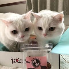 ペット/猫/白猫/仲良し/姉弟猫/PECOBOX/...