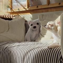 うたた寝/居眠り/おひさま/白い/小型犬/ロングコートチワワ/...