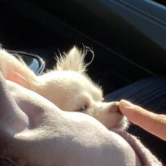 なかよし/愛犬/おねむ/ドライブ/犬とおでかけ/犬のいる暮らし/... ドライブ中のひとこま♡