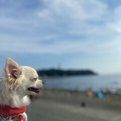海/おでかけ/愛犬/犬との暮らし/チワワ/わんこ同好会/... 夏の思い出🌞🌴🌺