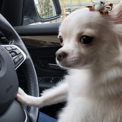 おつかれさま/犬のいる暮らし/トリミング/犬好きな人と繋がりたい/ロングコートチワワ部/ちわわ部/... 2019 最後のトリミング。 お疲れさま…