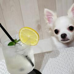 ホームメイド/レモンシロップ/レモネード/ちわわ大好き/チワワ/犬のいる生活/... 今年も🍋💓💓  瀬戸田エコレモン。 4つ…