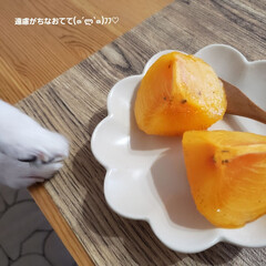 柿/犬と暮らす/チワワのいる生活/フルーツ大好き/旬の果物/小型犬/... フルーツ大好き♡ ボクつまみ食いしないよ…