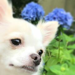 お散歩/梅雨/犬と暮らす/愛犬/チワワ/わんこ同好会/... そろそろ梅雨入りだね🐸  花粉が終われば…