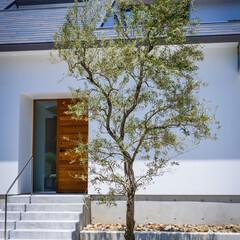 生活/外構工事/ロックガーデン/オリーブ/新築一戸建て/住宅/... 自粛明けてオリーブの植栽、ロックガー…(4枚目)