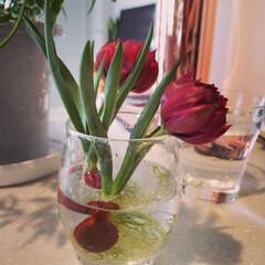 おうちの美化委員/インテリア/球根/チューリップ/花/住まい/... ほんのちょっとでもお部屋にお花を飾るのが…